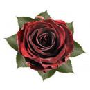 Stabilized rose burgundy 6cm