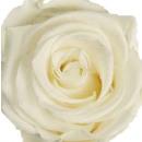 Stabilized Rose white 3cm