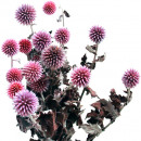 Ball thistle x8 pink 30-50cm
