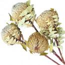 Banksia Baxterii natural 30pcs