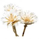 Protea Roset.8cm bleached50pcs