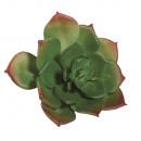 Vert d'Echeveria succulent,