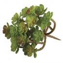 Succulent Sedum,