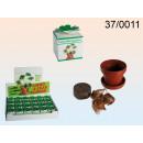wholesale Plants & Pots: Four-leaf clover -  production Netherlands