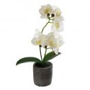 Orquídea toque real cim h33, blanco