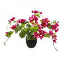 bougainvilleas h76, 2- times assorted , asso color