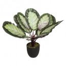 calathea arty h53 plant, veelkleurig