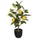 citroenboom h43, veelkleurig