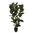 ficus robusta h120, zöld