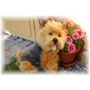 wholesale Dolls &Plush: Sitting Yorkshire Terrier, 37x30cm