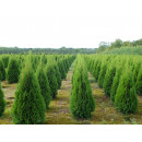 Großhandel Pflanzen & Töpfe: Thuja Smaragd,  Thuja Smaragd, Thuja occidentalis