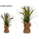 big white sack reed plant, 2 times assorted