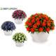 Kleeblumen Pflanze, Farben 4 fach sortiert