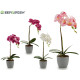 43cm gray round pot orchid assorted 4c