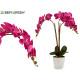 Orchidee Fuchsia Blumentopf Conic Blanca Jumb