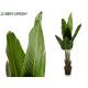 plant straight stems leaves tip 120 cm