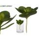 round leaf plant