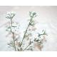 Schleierkraut XL 50 cm na 60 kwiatów