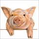 CS Peeking Pig kártya